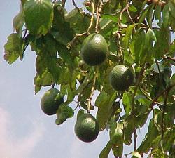 avokado-agaci