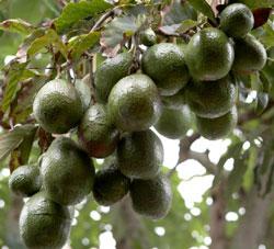 avokado-toplamak