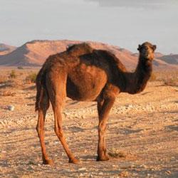 deve-kesmek