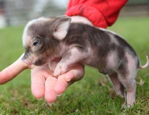 ruyada-domuz-yavrusu