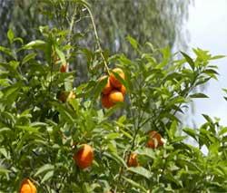 turunc-agaci