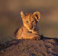 yavru-aslan