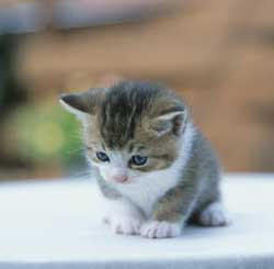 yavru-kedi